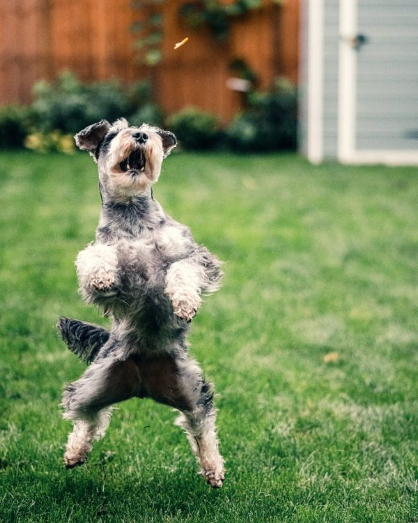 An excited dog jumping up.
