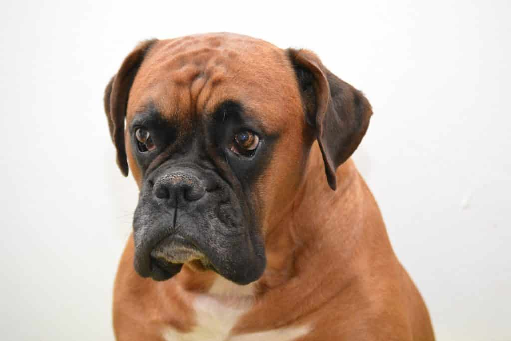Things to know about Boxer size.