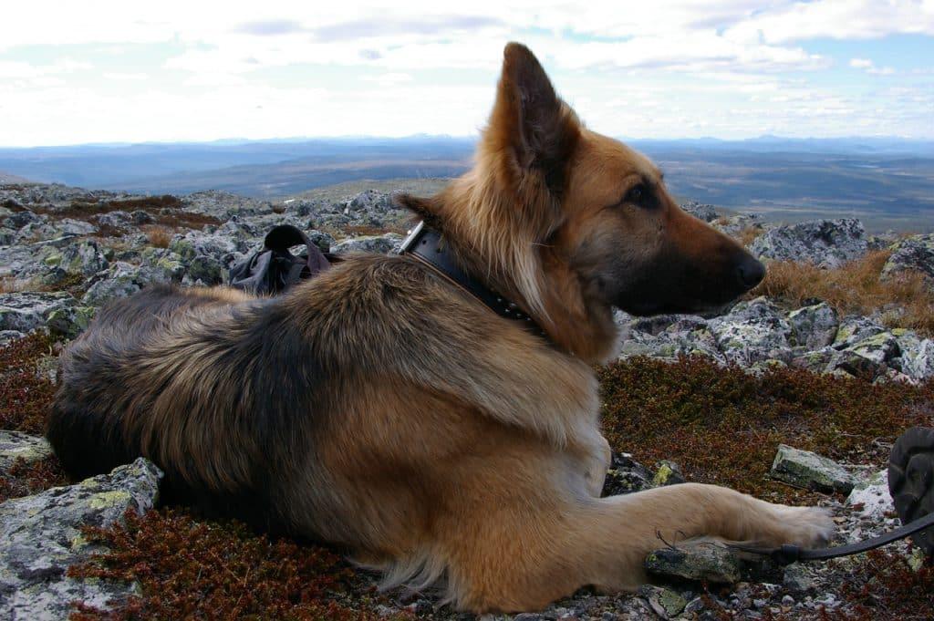 Training German Shepherds