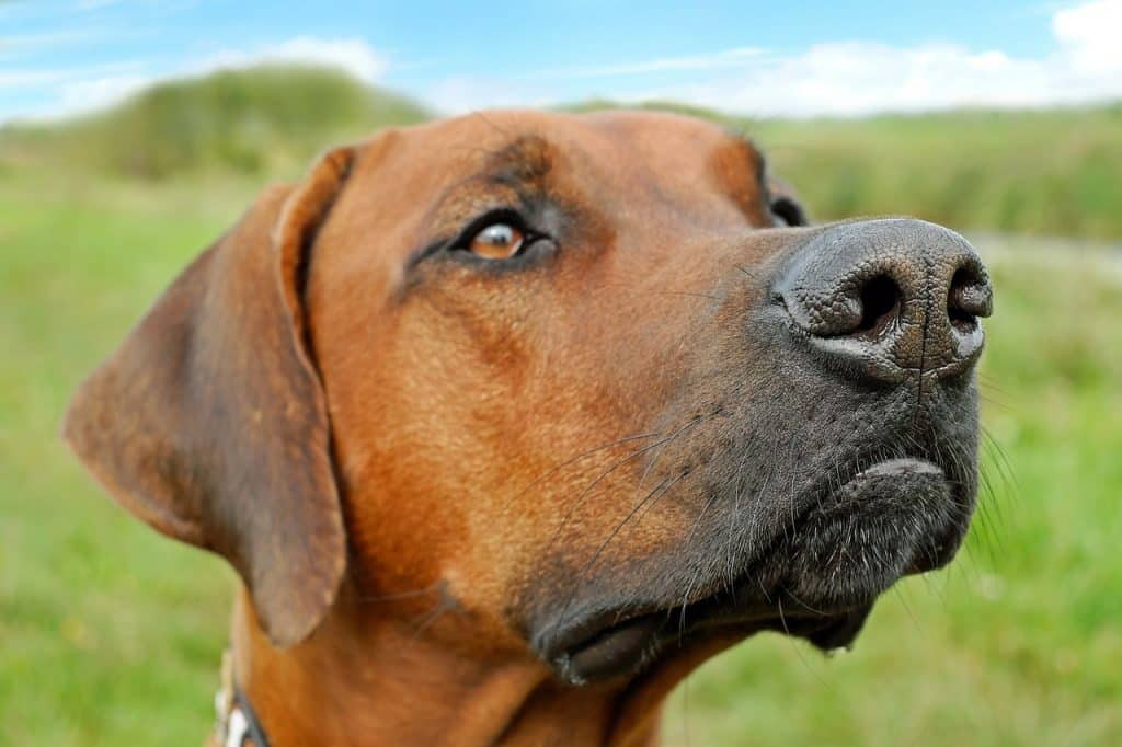 Best large dogs that don't shed