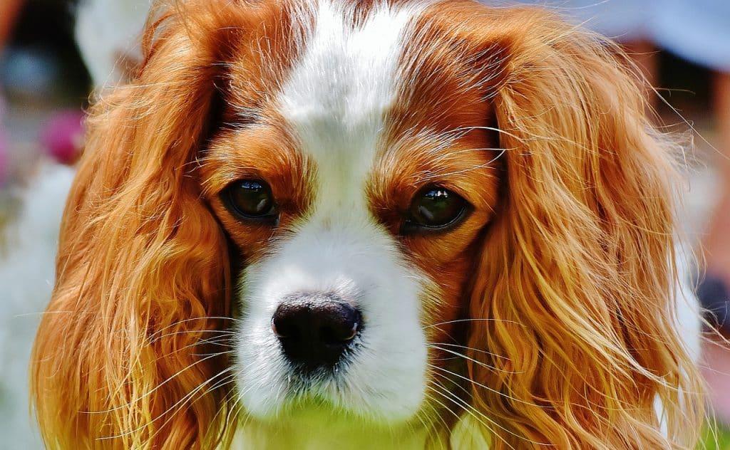 Cavalier King Charles Spaniel companion dog.